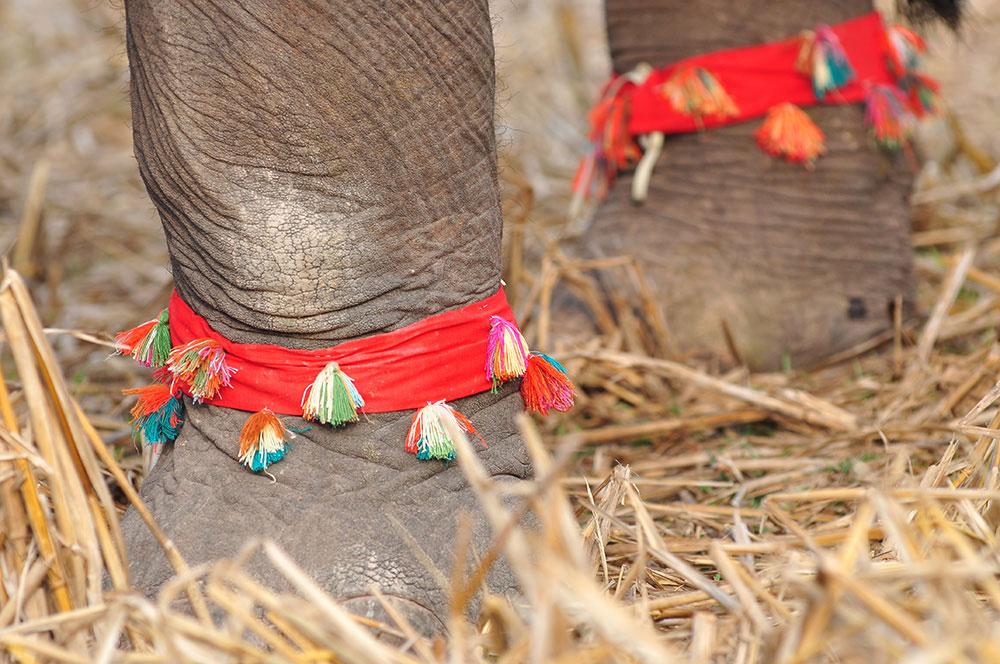 Sayaboury elephant